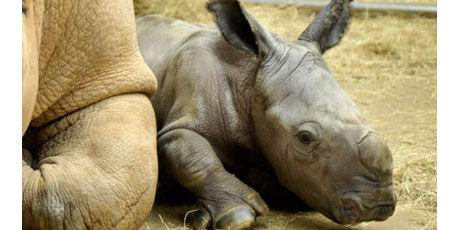Please Help Save the Rhinos Now!